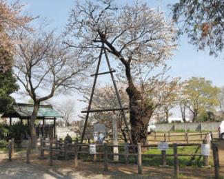 チョウショウインハタザクラ(長勝院旗桜)